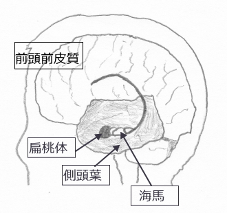 記憶に関わる脳の図